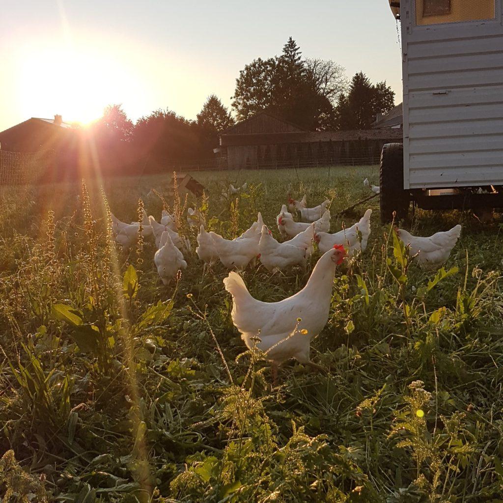 Sandy-Freiland-Hühner
